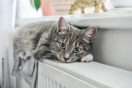 Cute grey cat with green eyes