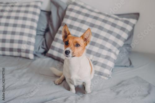 Fotografiet  Horizontal shot of pedigree dog on comfortable bed, looks into distance, enjoys comfort in cozy bedroom