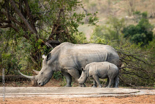 Rhinocéros blanc, femelle et jeune, white rhino, Ceratotherium simum, Parc national Kruger, Afrique du Sud