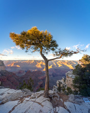 Grand Canyon Juniper Tree