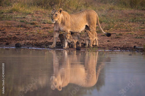 Photo A lioness with three cubs at Pilanesberg National Park