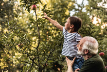 Grandfather Holding His Granddaughter Picking Apple From Tree
