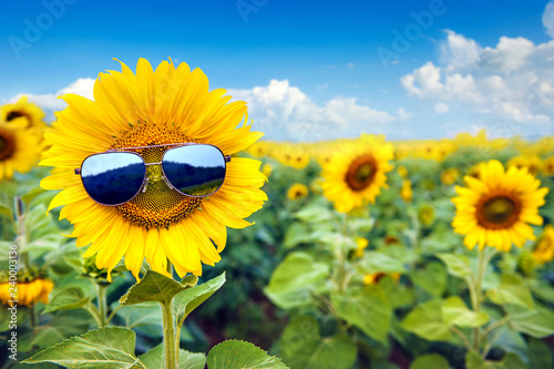 Fotografia sunflower wearing sunglasses with sunflower field over cloudy blue sky and brigh