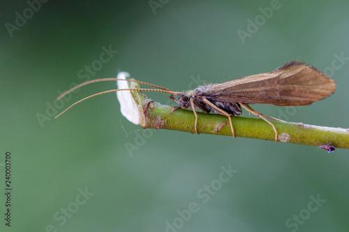 Macrophotographie insecte - Phrygane - Limnephilus rhombicus - Trichopteres Fototapet