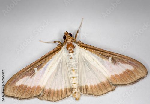 Fényképezés Macrophotographie insecte - Pyrale du buis - Cydalima perspectalis - Lepidoptere