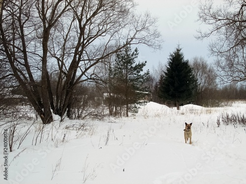 Fotobehang Winter walk with a dog on the outskirts of the village