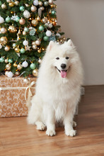 Christmas  Dog Samoyed . Christmas, Winter Concept. Christmas Tree. Christmas Greeting Card. Happy New Year! New Year At Home. Chinese Calendar Template