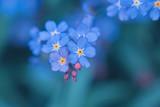 Fototapeta Kwiaty - spring background forget-me-not flowers