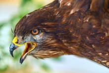 Effigy Hawk Close Up.