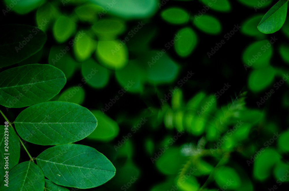 Fototapety, obrazy: young green leaves of acacia tree close up