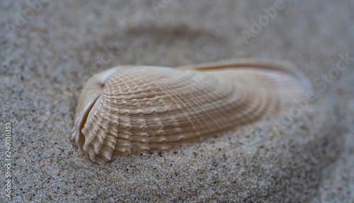 Weiße Bohrmuschel im Sand