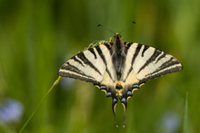 Scarce Swallowtail / Iphiclide...