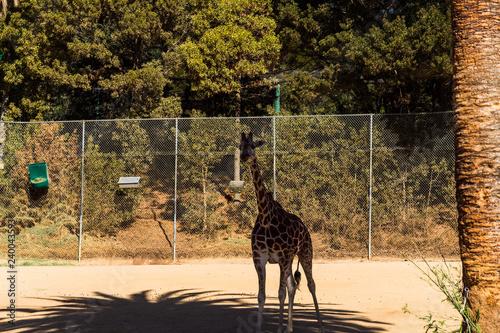 Photo  Reticulated Giraffe