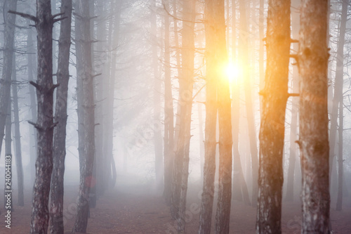 Foto auf Gartenposter Wald morning fog in forest. tree in forest. background. sunrise in forest.