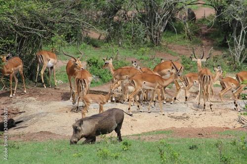 Photo  Trinkendes Warzenschwein vor Antilopenherde in Uganda Afrika - Eingeknickt