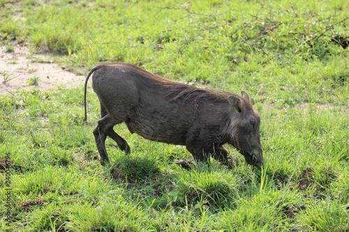 Cuadros en Lienzo Trinkendes Warzenschwein in Uganda Afrika - Eingeknickt