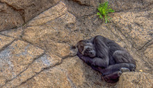 Ape Sleeping On Rock