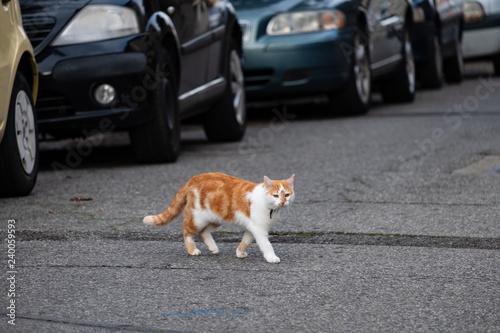 Chat domestique roux et blanc, avec collier traversant la rue, voitures garées Fototapete