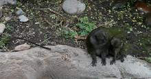 Allen's Swamp Monkey Mother Yo...