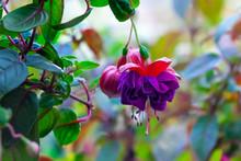 Purple Hanging Fuchsia Flowers