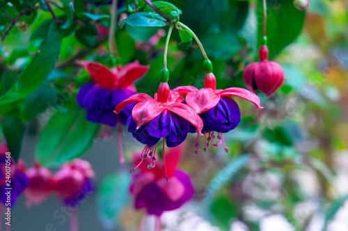 Fotografia, Obraz Purple hanging Fuchsia flowers