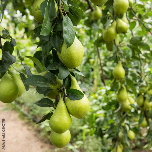 Low Hanging Fruit Pears