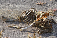 Horse Skeleton In The Nevada Desert, USA