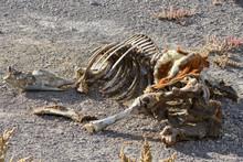 Horse Skeleton In The Nevada D...