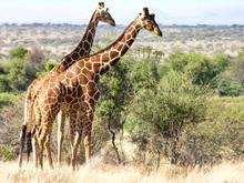 Giraffes, Samburu National Reserve, Kenya