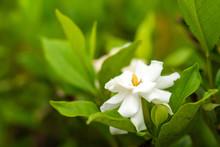 Beautiful Gardenia Blossom In Botanical Garden