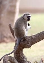 A Vervet Monkey Sits On A Stum...