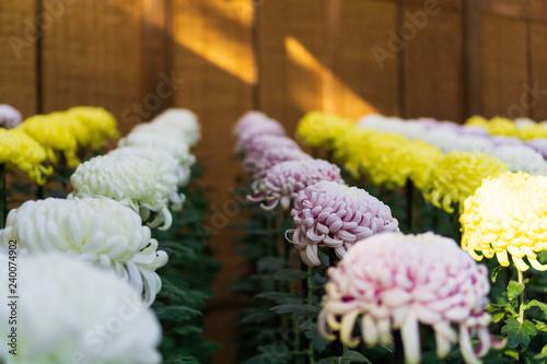 Cuadros en Lienzo Japanese chrysanthemums on display in Tokyo, Japan