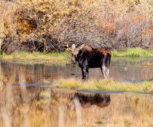 A Bull Moose Stands In Water Surrounded By The Colors Of Autumn