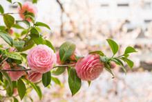 Camellia Pink Flowers In The G...