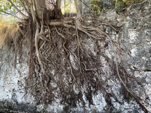Tree Roots Exposed On Wall