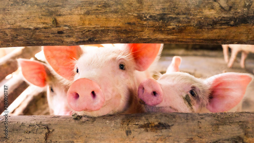 Fotografia Close-up of a pig playing in a play yard in the farm so happy