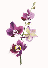 Watercolor Orchid Branch, Hand Drawn Floral Illustration Isolated On A White Background