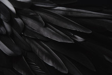 Black Wing Feathers Detail, Ab...