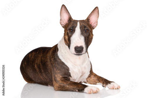 Canvastavla miniature bull terrier dog lying down on white background