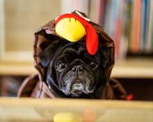 Pug In Turkey Costume