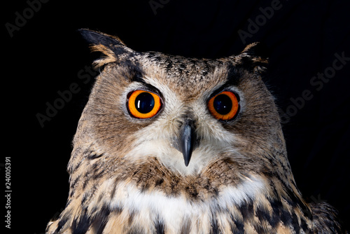 owl nature wild face black look eyes wildlife hunter bird