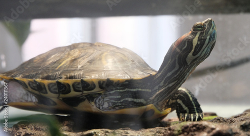 Cadres-photo bureau Tortue A Red Eared Slider (Trachemys scripta elegans) Basking on a Dock in a Turtle Tank.