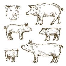 Hand Drawn Set Of Pigs. Sketch, Vector Illustration.