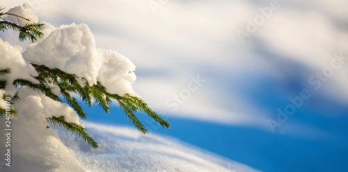 Fotografía  Young tender spruce tree brunches with green needles covered with deep snow and hoarfrost on bright blue and white colorful copy space background