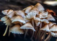Caprinus Disseminatus Mushroom...