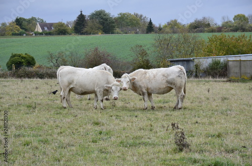 Photo Stands Cow white cows