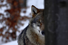 Beautiful Wolf (canis Lupus) I...