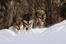Pack Of Wolves (canis Lupus) In Winter, Wolfs Running In Snow, Attractive Winter Scene With Wolves , Beautiful Winter Landscape With Wolves