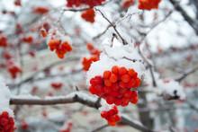 Rowan Covered By Snow