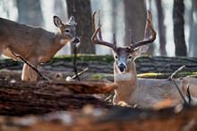 A Mature Buck Whitetail Deer W...